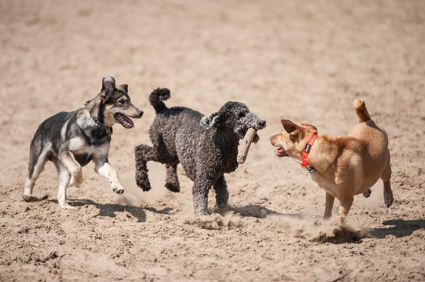 Group of dogs playing in the dirt at a dog park