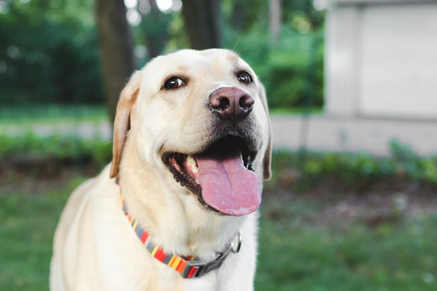 Yellow lab outside