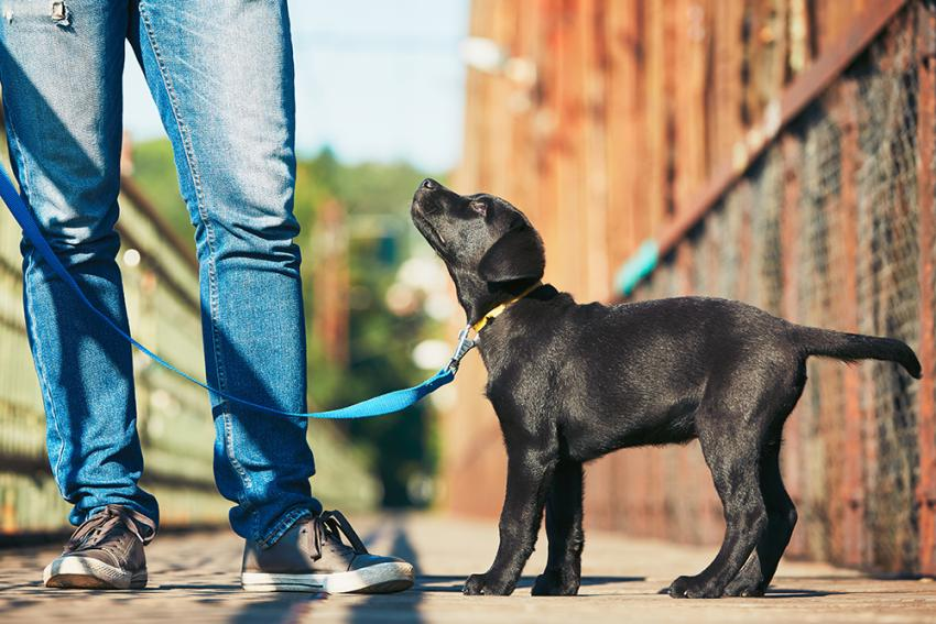 Labrador Retriever pup at man's heels