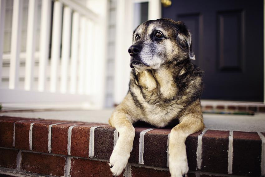 Arthritis In Dogs: Signs, Symptoms, And Treatment Options | Figo Pet Insurance