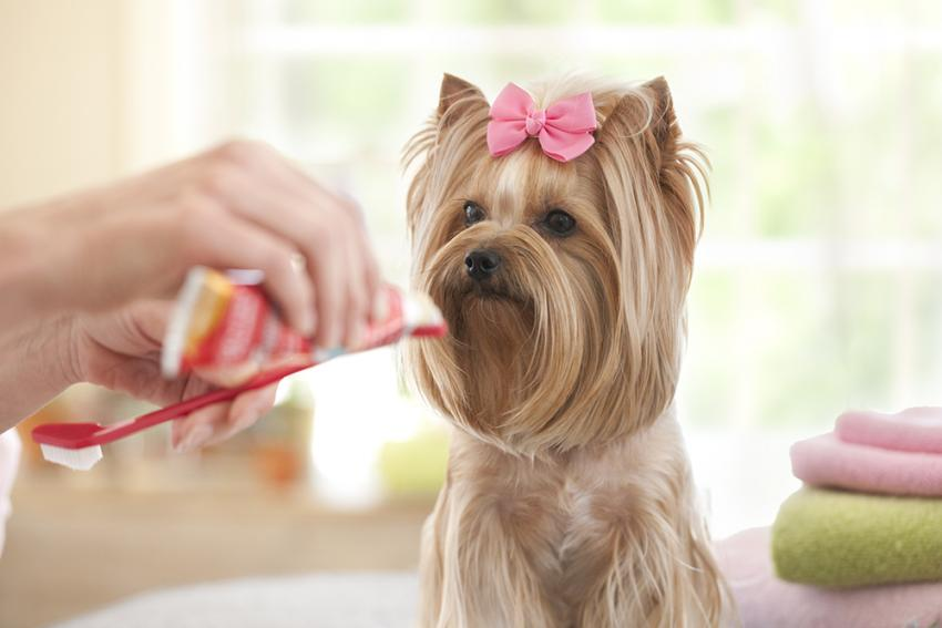 Pet parent preparing toothbrush for small dog