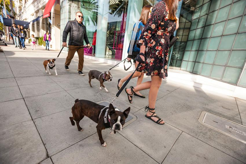 Walking a dog on Rodeo drive