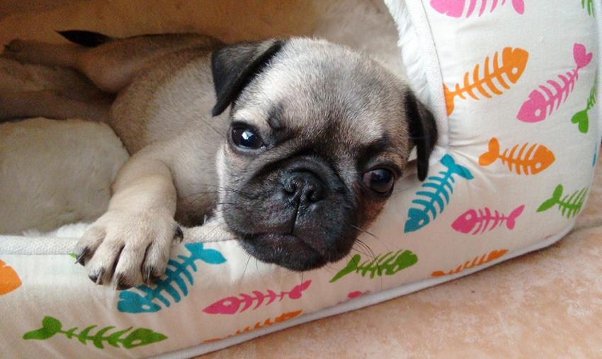 Pug laying in dog bed on the floor