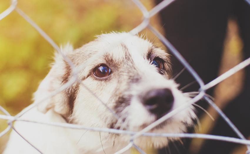 Adopt-A-Dog Month: White shelter dog looking through fence