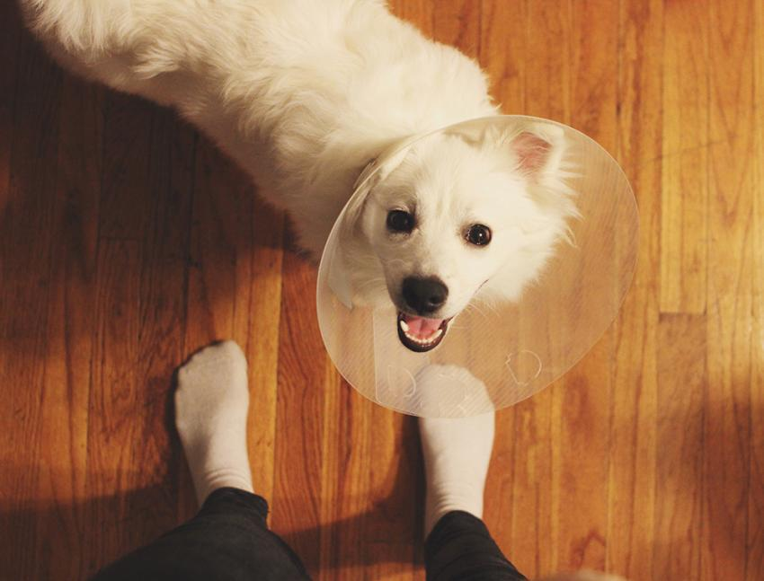 Dog in a surgery cone