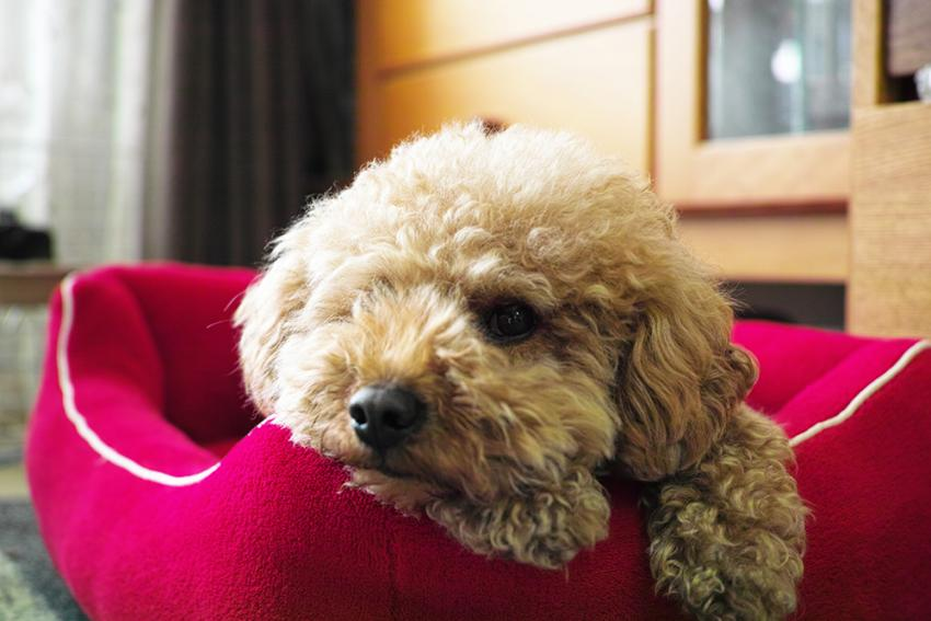Poodle laying in a bed