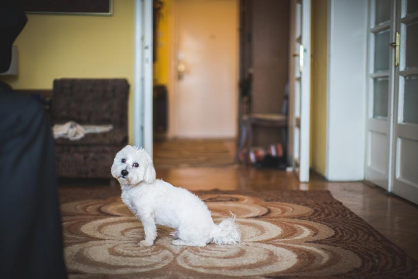 Small white dog sitting on the carpet
