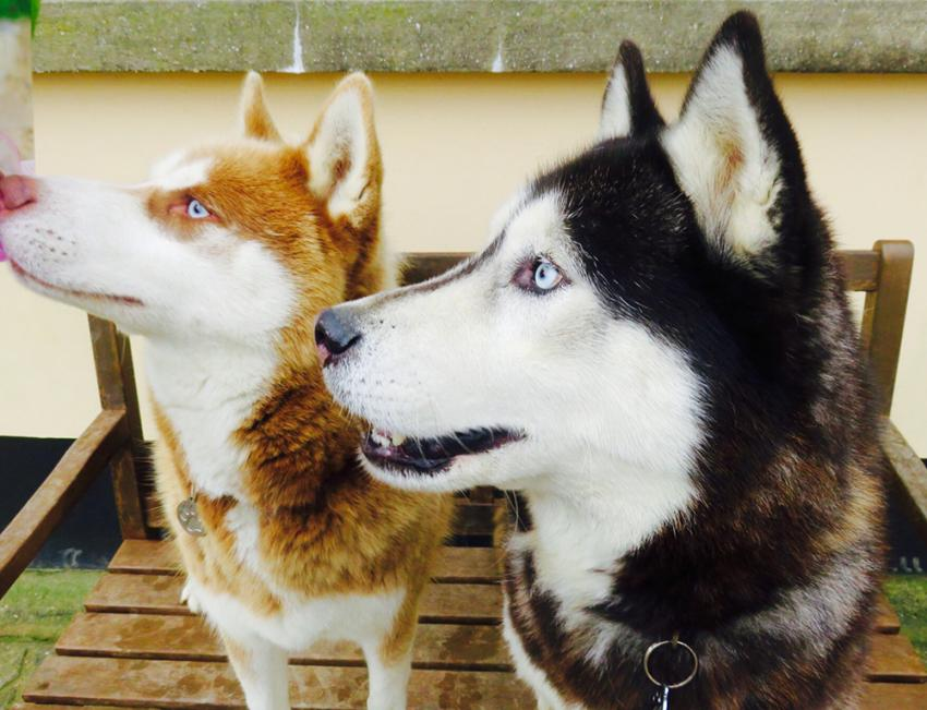 Two Siberian Huskies side-by-side
