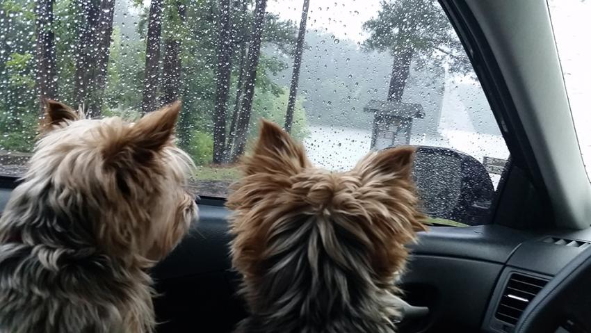 Two small dogs seeking shelter from a downpour in a car