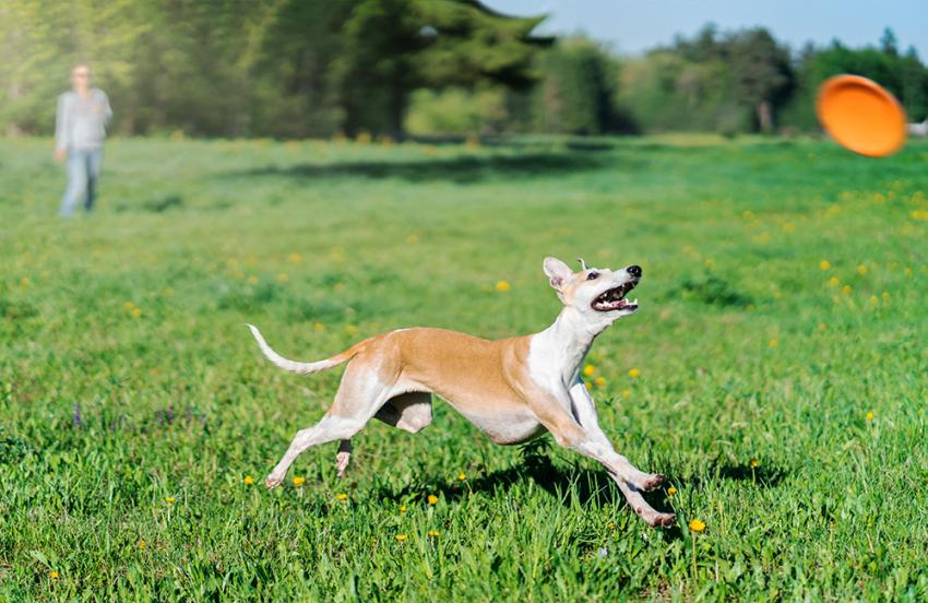 Whippet chasing frisbee in park