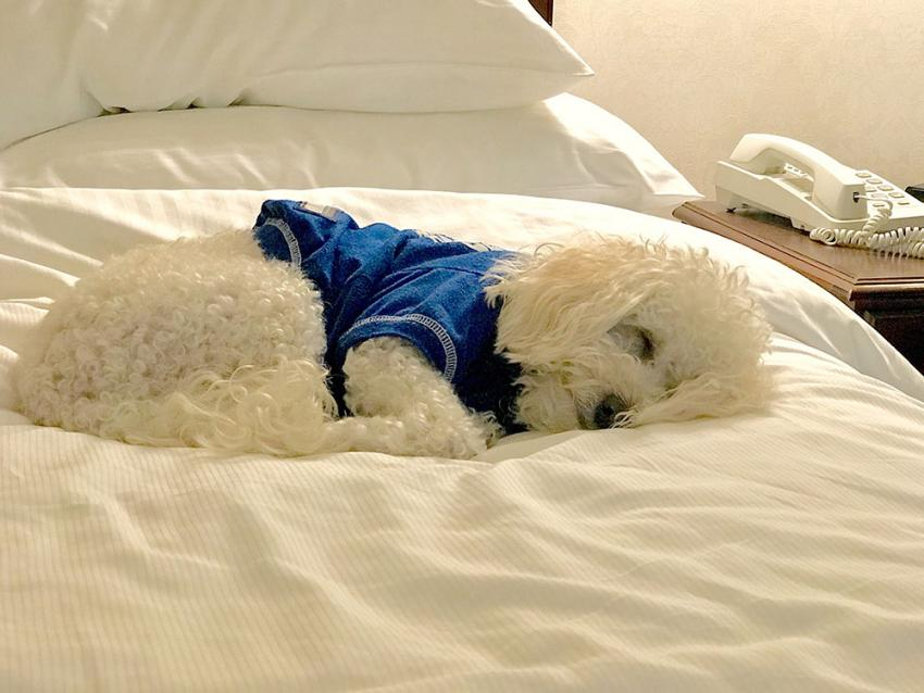 White dog wearing a shirt in a hotel