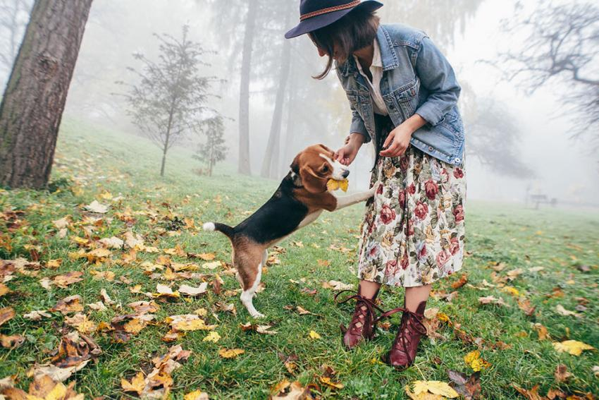 Beagle with a woman playing in a field