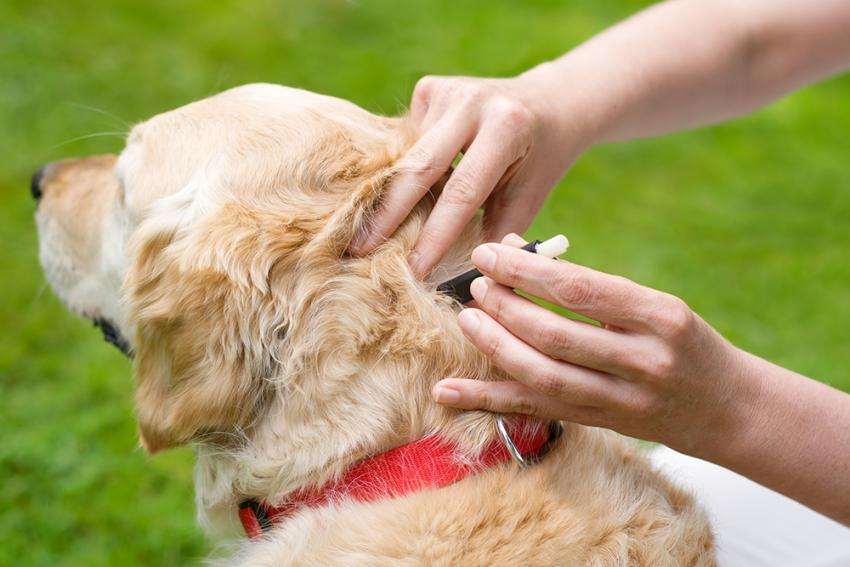 Owner using tick puller to remove tick from dog's neck