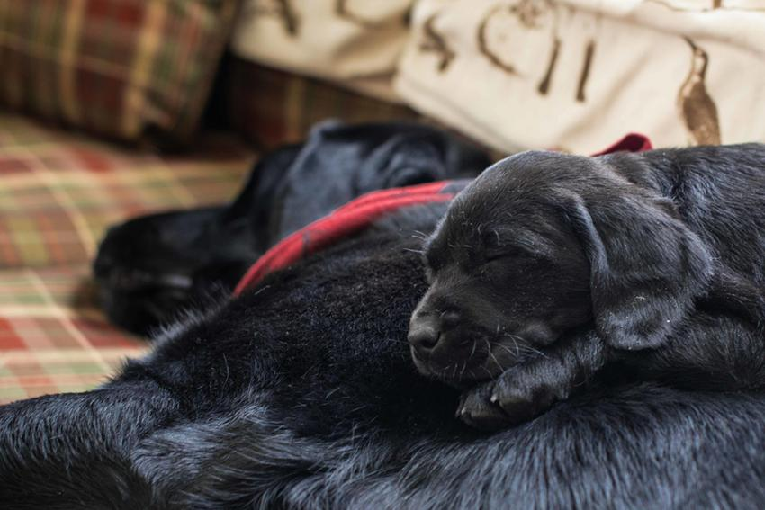 Black labrador pup laying on dog on couch