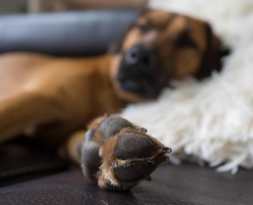 Dog with thickened footpads and arm outstretched