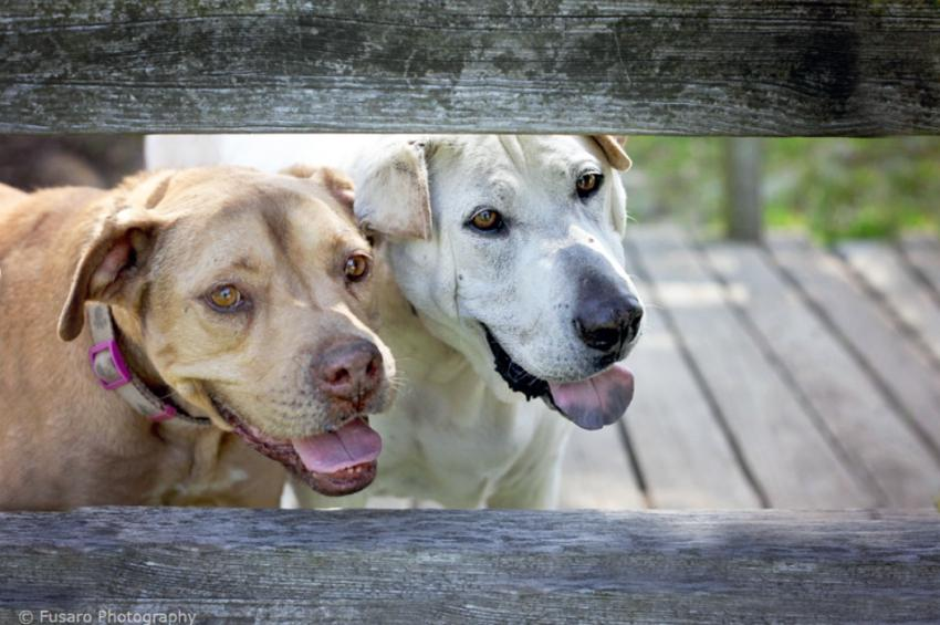 Two dogs staring through a fence photographed by Lori Fusaro, Best Friends Animal Society
