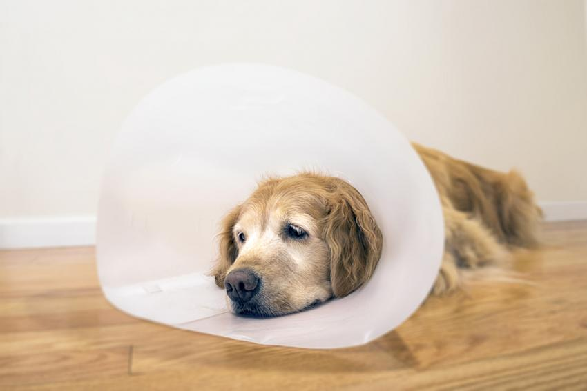 Dog with Hip Dysplasia laying on floor with cone around head recovering