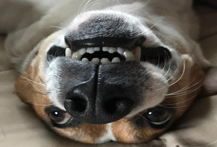 cute dog upside down smiling with teeth