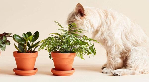 Three plants lined up in front of small white dog