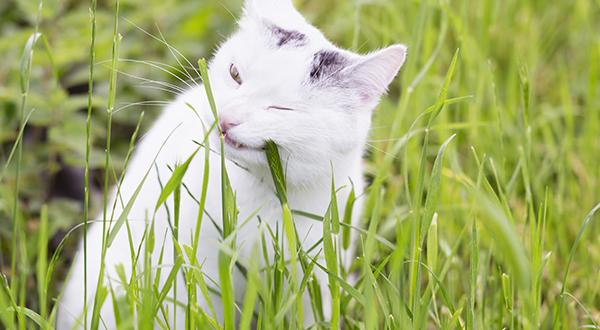 Cat eating tall grass