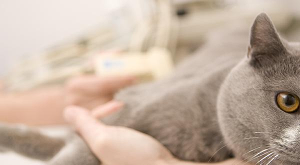 Gray cat laying on vet's table being examined