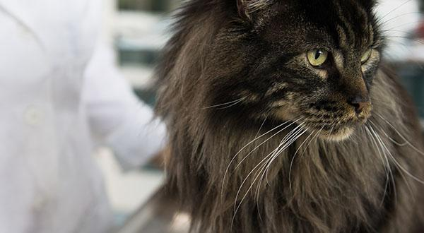 Long haired cat at the vet
