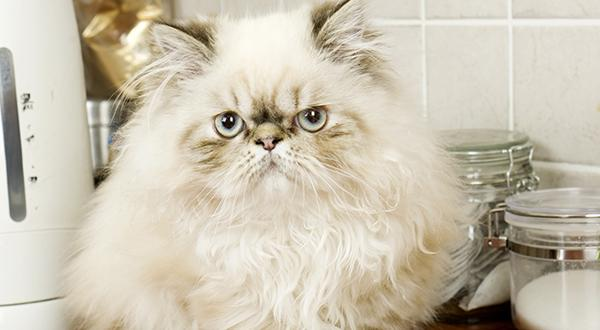 Persian cat laying on the kitchen counter