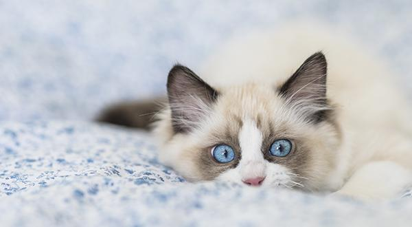 Ragdoll cat on a blanket