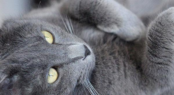 Russian Blue cat lying on his back and resting