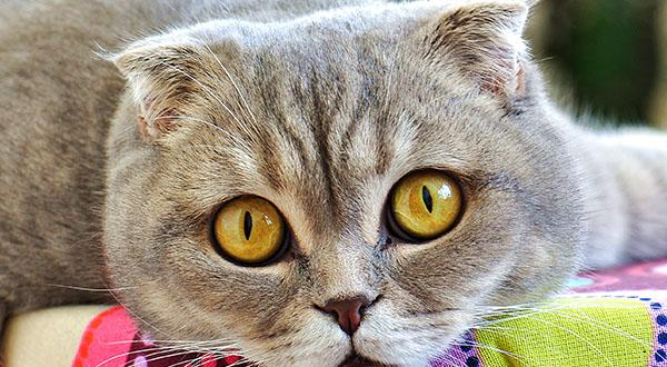 Scottish Fold cat posing for camera