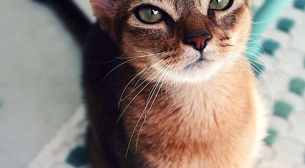 Getting To know The Abyssinian | Figo Pet Insurance