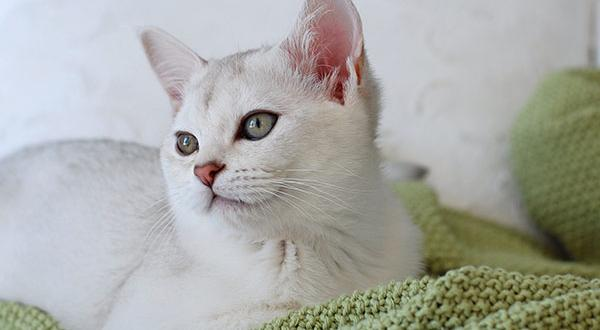 Small white cat lounging on bed with blanket