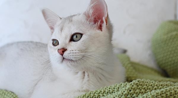 White cat on a bed
