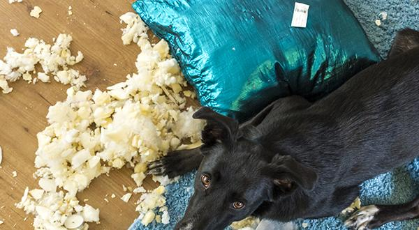 Anxious dog chewing blue pillow