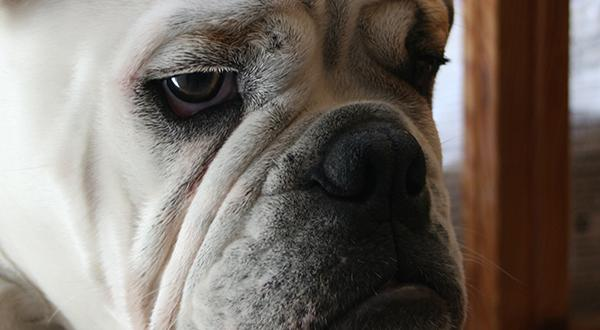 Grumpy-faced bulldog