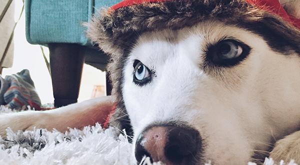 Siberian Husky in a Santa hat sitting on the floor