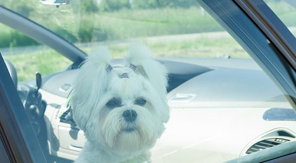 Small dog left alone in car
