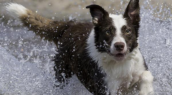 Dog running through the water to catch a flying disk