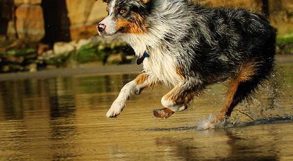 Australian shepherd dog running after stick