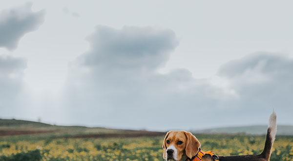 Beagle in a field