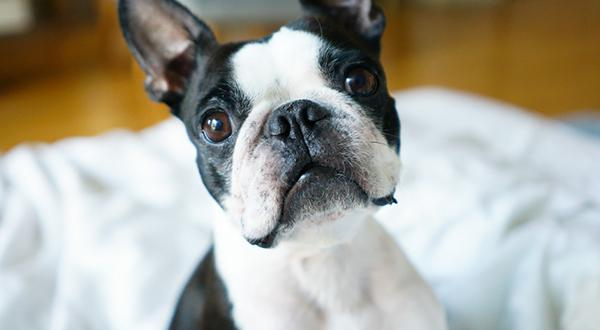 Boston terrier sitting alert on a bed