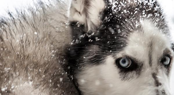 Husky mix in the cold