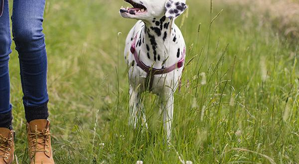 Dalmation walking with a woman in tall grass