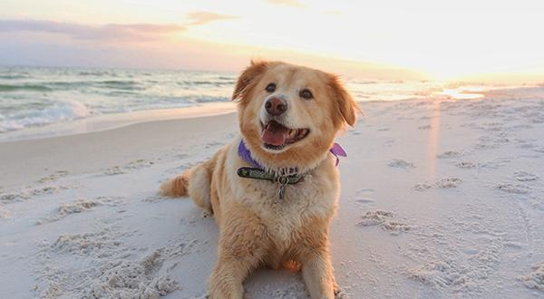 Happy dog laying on a dog beach in the morning
