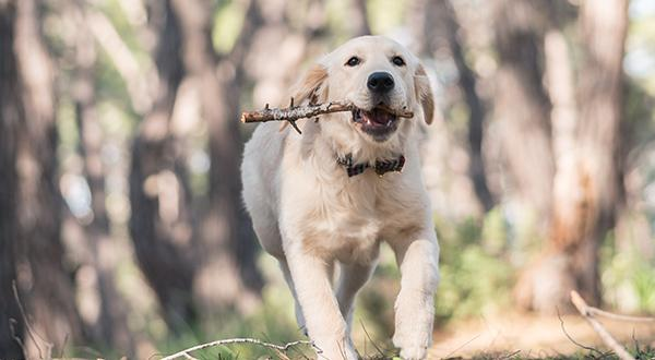 Dog running with stick in the wood