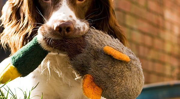 Getting To Know The English Springer Spaniel | Figo Pet Insurance