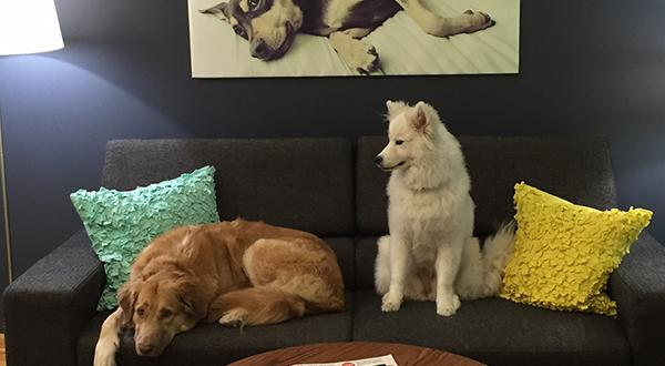 Dogs sitting on a couch in the lobby at Figo Pet Insurance