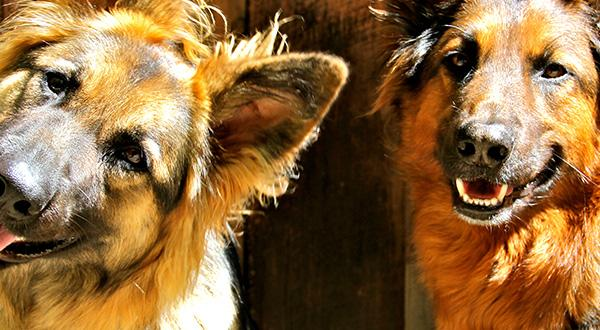 A pair of quirky German Shepherds tilting their heads