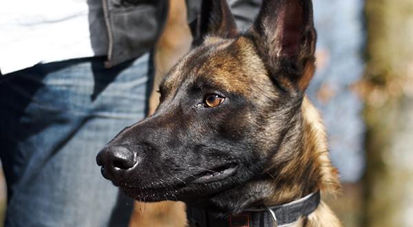 German Shepherd dog breed: Tips for training your German Shepherd
