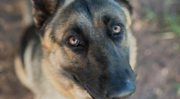German Shepherd looking at camera drooling